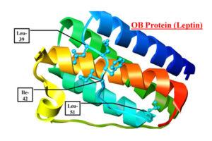 leptin2